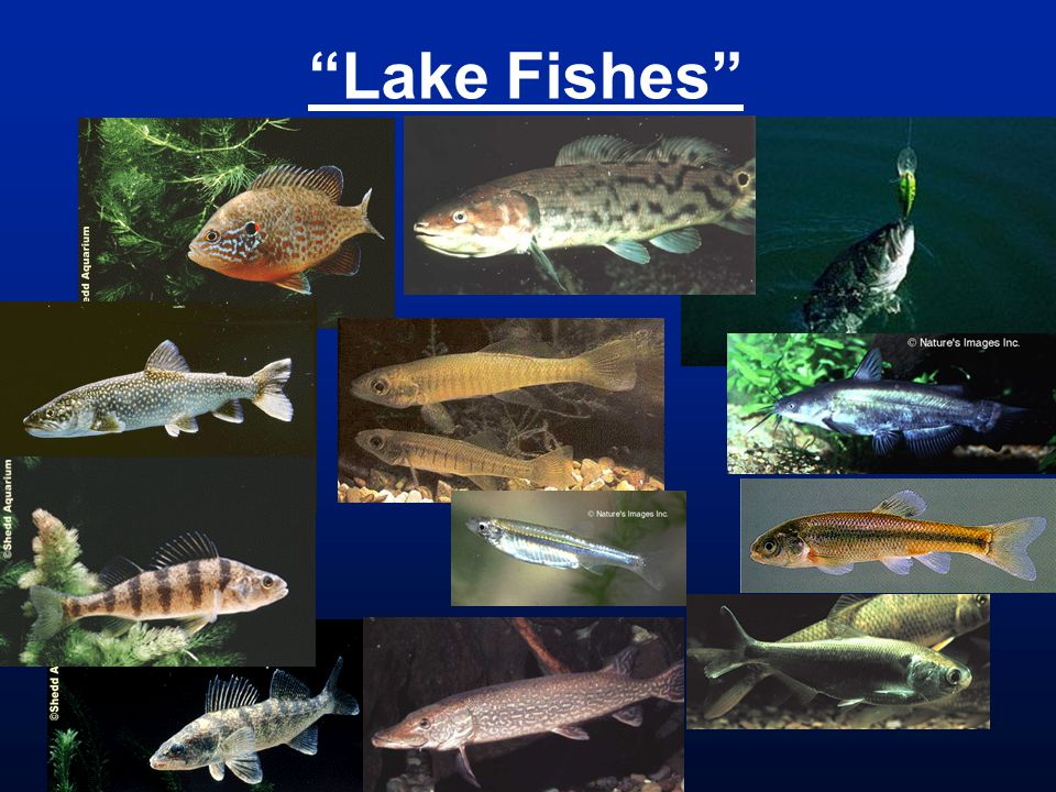 Lake Fishes
