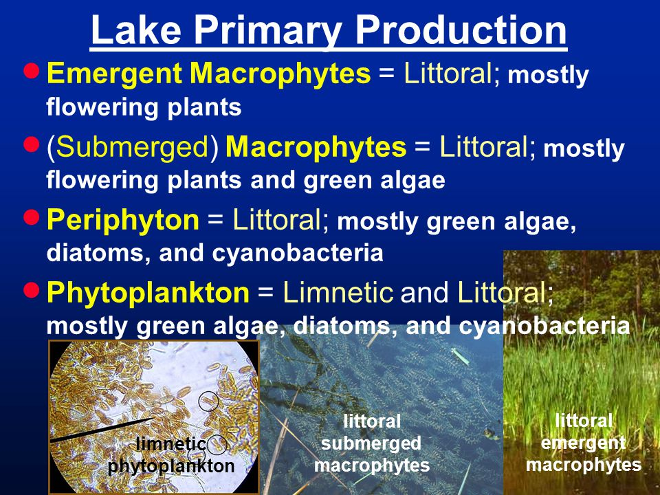 littoral submerged macrophytes Lake Primary Production  Emergent Macrophytes = Littoral; mostly flowering plants  (Submerged) Macrophytes = Littoral; mostly flowering plants and green algae  Periphyton = Littoral; mostly green algae, diatoms, and cyanobacteria  Phytoplankton = Limnetic and Littoral; mostly green algae, diatoms, and cyanobacteria littoral emergent macrophytes limnetic phytoplankton