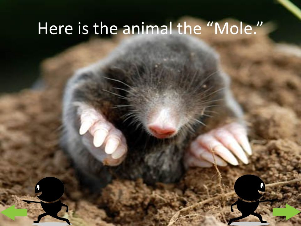 "Here is the animal the ""Mole."""
