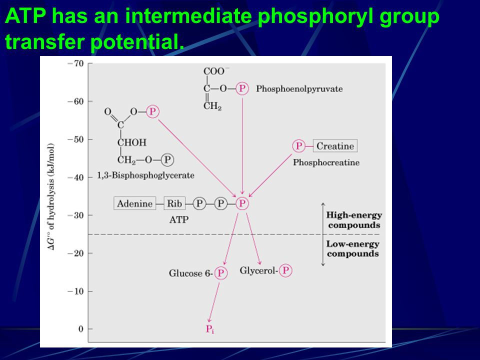 ATP has an intermediate phosphoryl group transfer potential.