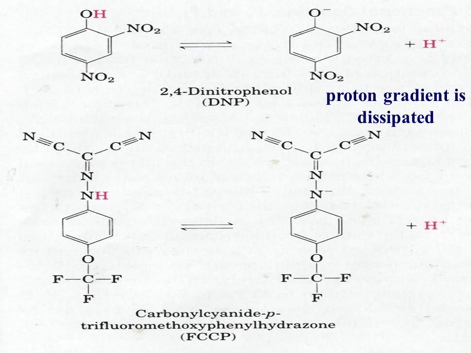 proton gradient is dissipated