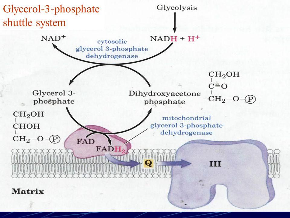 Glycerol-3-phosphate shuttle system