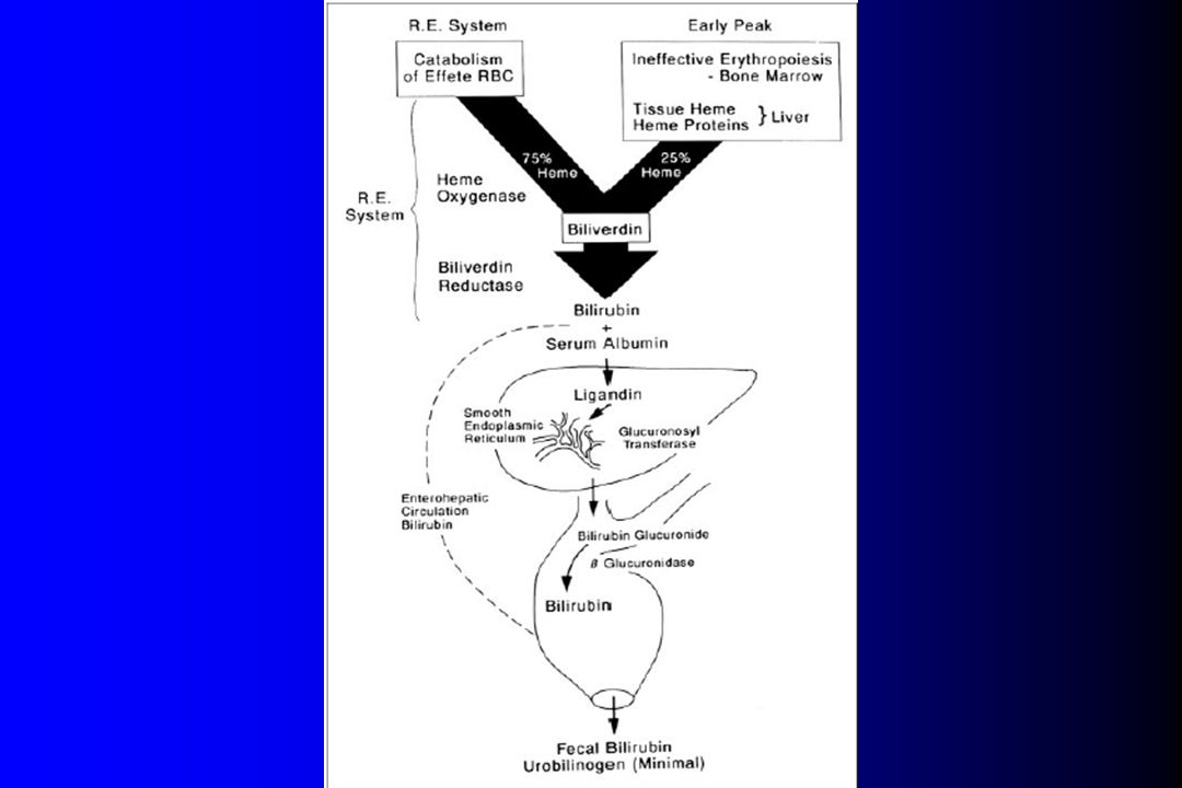 Hour-specific Bilirubin load Bilirubin production Entero-hepatic circulation Bilirubin Elimination MINUS PLUS