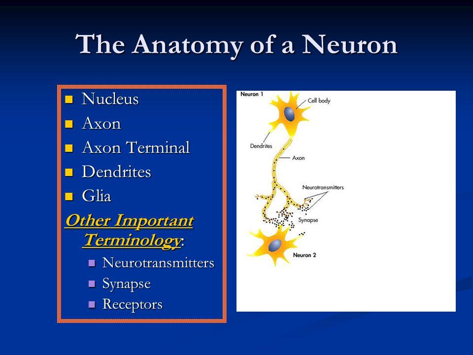 The Anatomy of a Neuron Nucleus Nucleus Axon Axon Axon Terminal Axon Terminal Dendrites Dendrites Glia Glia Other Important Terminology: Neurotransmitters Neurotransmitters Synapse Synapse Receptors Receptors
