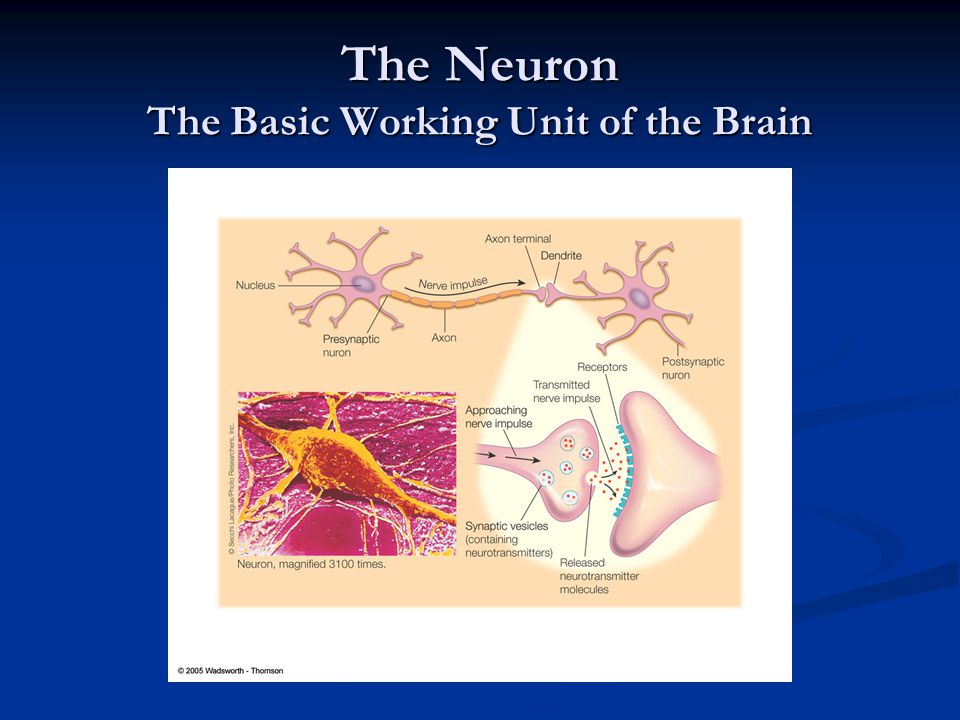 The Neuron The Basic Working Unit of the Brain