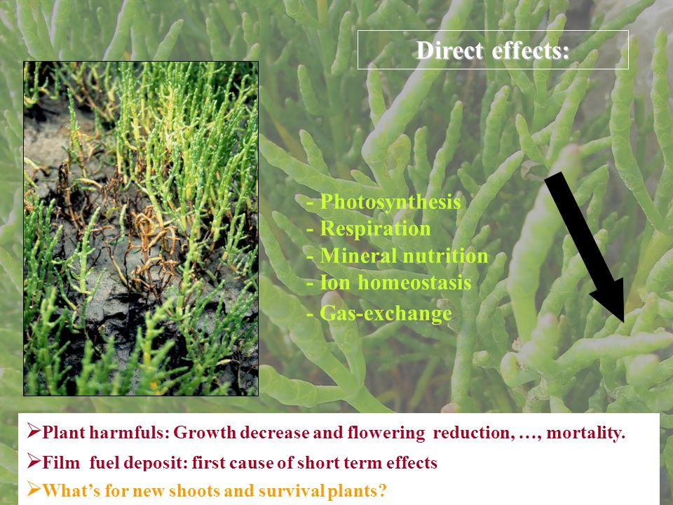 - Photosynthesis - Respiration - Mineral nutrition - Ion homeostasis Direct effects:  Plant harmfuls: Growth decrease and flowering reduction, …, mortality.