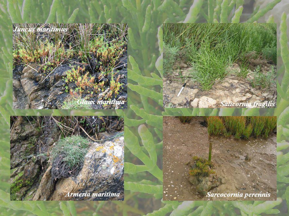 Glaux maritima Juncus maritimus Armeria maritimaSarcocornia perennis Salicornia fragilis