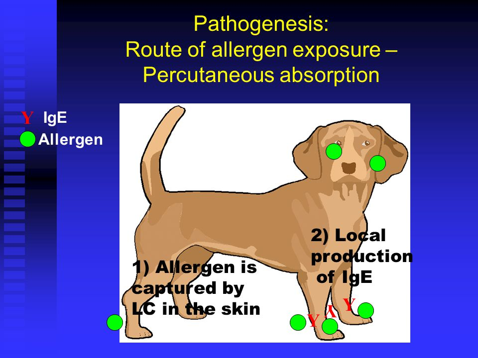 R Marsella ACVD Resident Review 2003 Pathogenesis: Route of allergen exposure – Percutaneous absorption 1) Allergen is captured by LC in the skin Y Y Y 2) Local production of IgE Y IgE Allergen