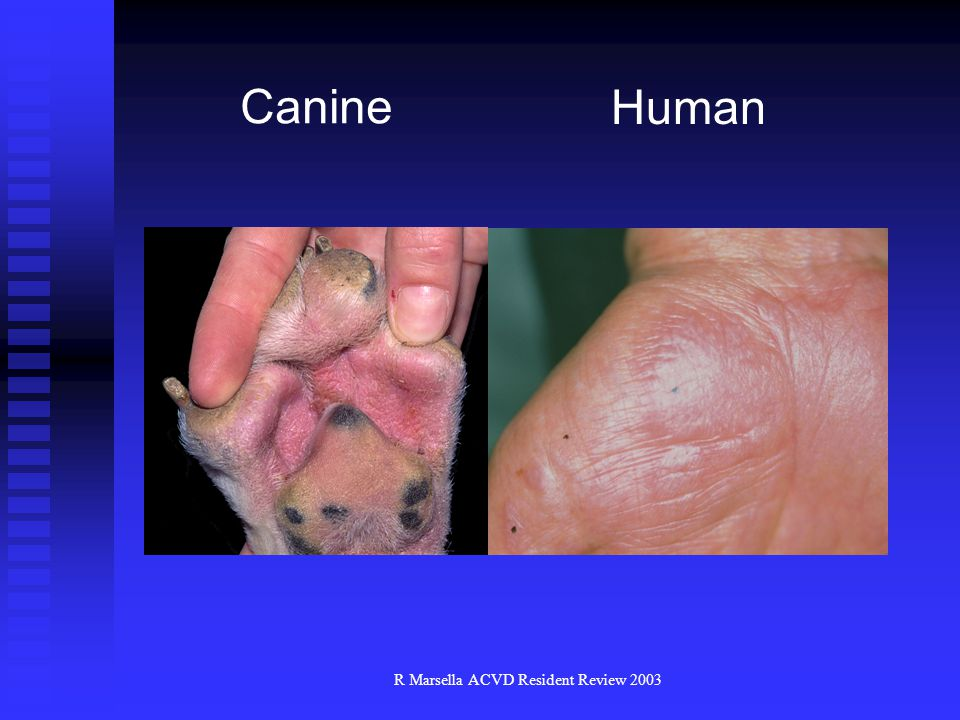 R Marsella ACVD Resident Review 2003 Canine Human