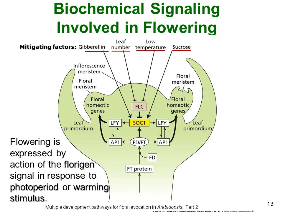13 Biochemical Signaling Involved in Flowering Multiple development pathways for floral evocation in Arabidopsis. Part 2 Flowering is expressed by flo