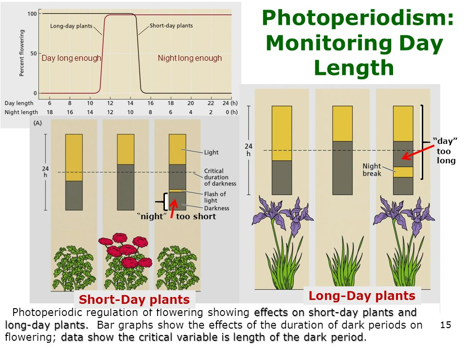 Photoperiodism: Monitoring Day Length 15 effects on short-day plants and long-day plants. data show the critical variable is length of the dark period