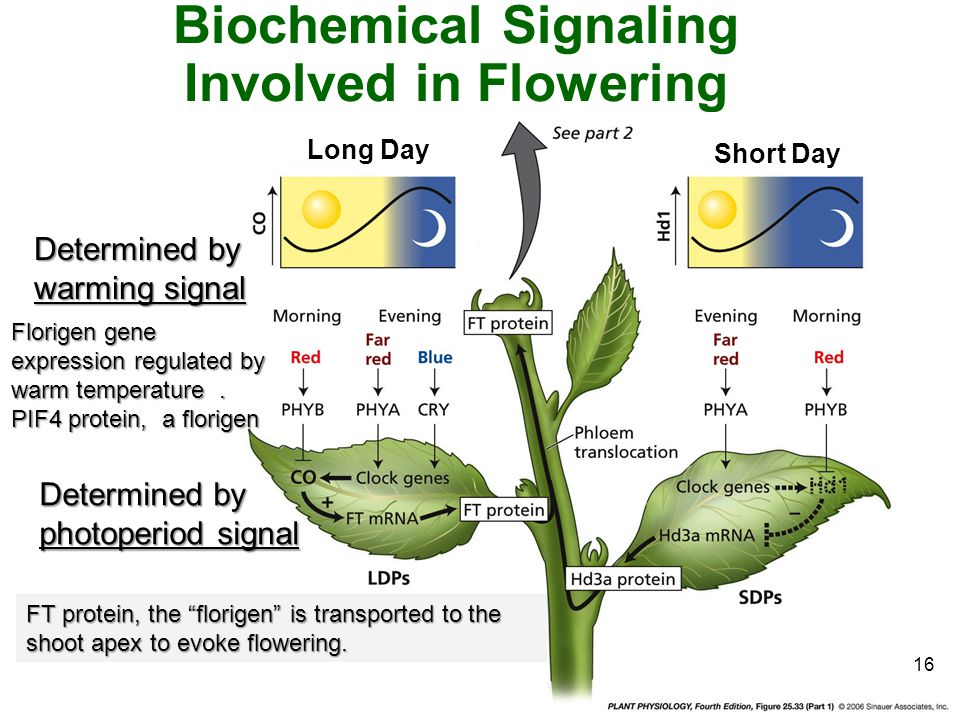 "16 Biochemical Signaling Involved in Flowering [ pp 660 – 667 ] FT protein, the ""florigen"" is transported to the shoot apex to evoke flowering. Determ"