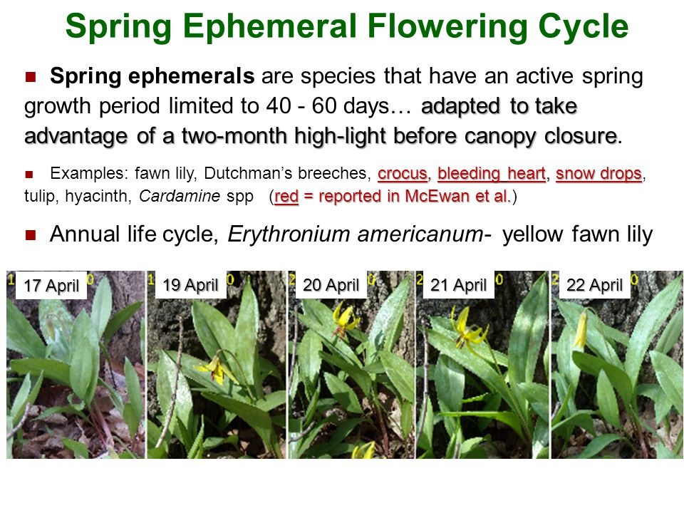 21 Background: Spring Ephemerals adapted to take advantage of a two-month high-light before canopy closure Spring ephemerals are species that have an