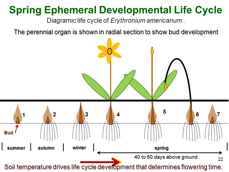 40 to 60 days above ground Spring Ephemeral Developmental Life Cycle Diagramic life cycle of Erythronium americanum. The perennial organ is shown in r