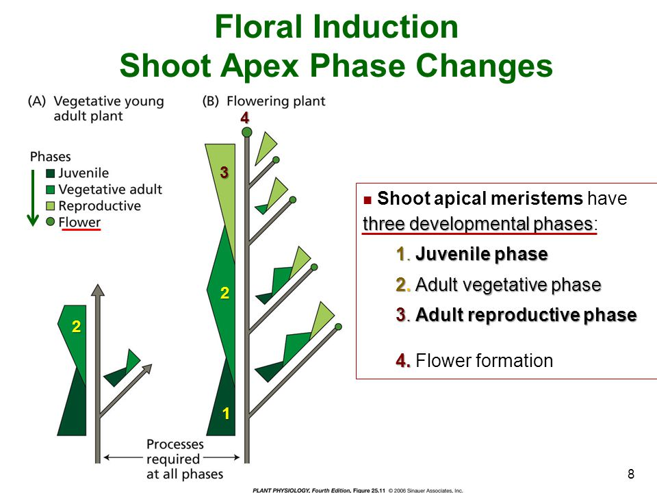 Floral Induction Shoot Apex Phase Changes three developmental phases Shoot apical meristems have three developmental phases: 1. Juvenile phase 2. Adul