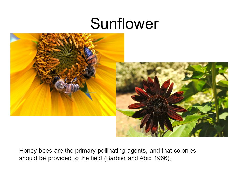 Sunflower Honey bees are the primary pollinating agents, and that colonies should be provided to the field (Barbier and Abid 1966),