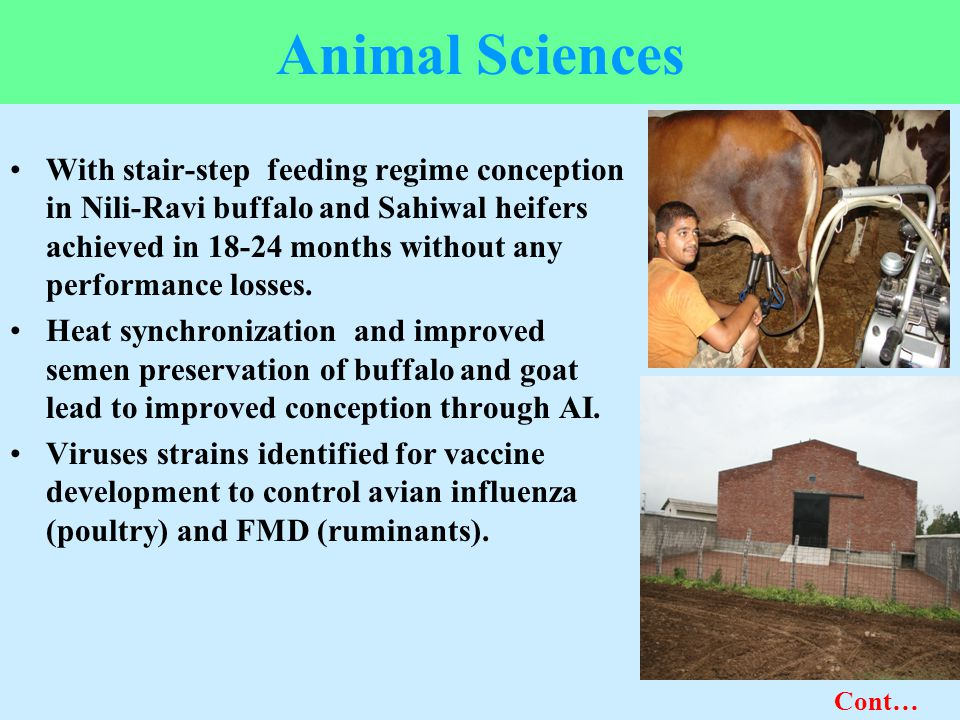 Animal Sciences With stair-step feeding regime conception in Nili-Ravi buffalo and Sahiwal heifers achieved in 18-24 months without any performance lo