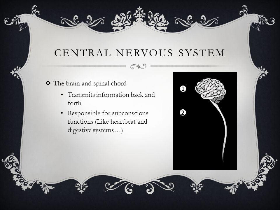 CENTRAL NERVOUS SYSTEM  The brain and spinal chord Transmits information back and forth Responsible for subconscious functions (Like heartbeat and digestive systems…)