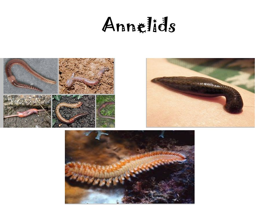 Annelids (Segment worms) Their body is made of repeating segments or rings to make worms flexible. Segments have nerve cells, blood vessels, digestive