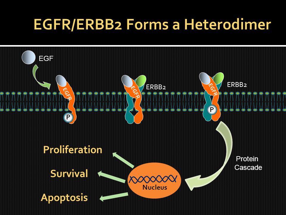 EGFR P EGF Proliferation Survival Apoptosis ERBB2 Nucleus EGFR P Protein Cascade ERBB2