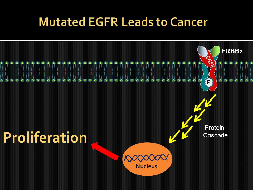 ERBB2 EGFR Nucleus Proliferation P Protein Cascade