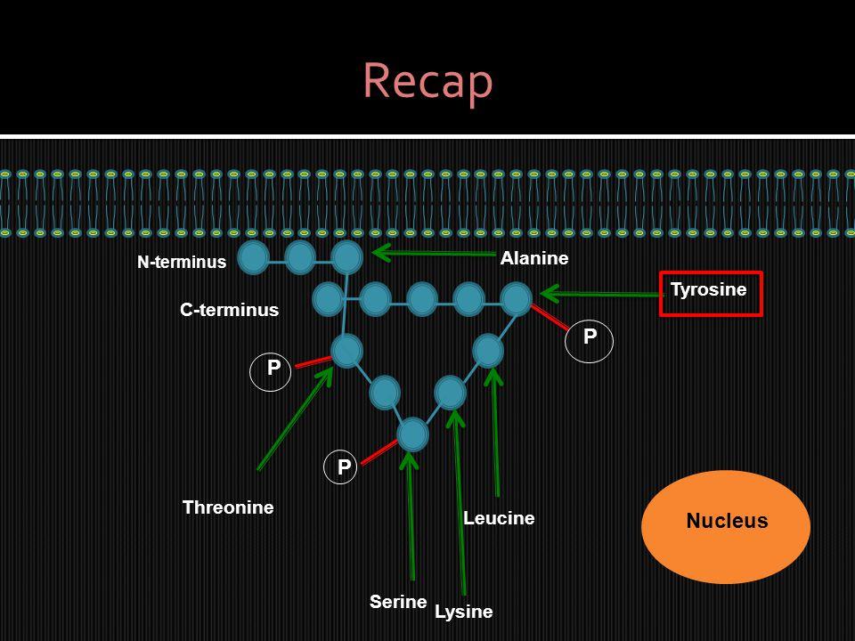 Recap Nucleus N-terminus C-terminus P Serine P Threonine Tyrosine P Leucine Lysine Alanine