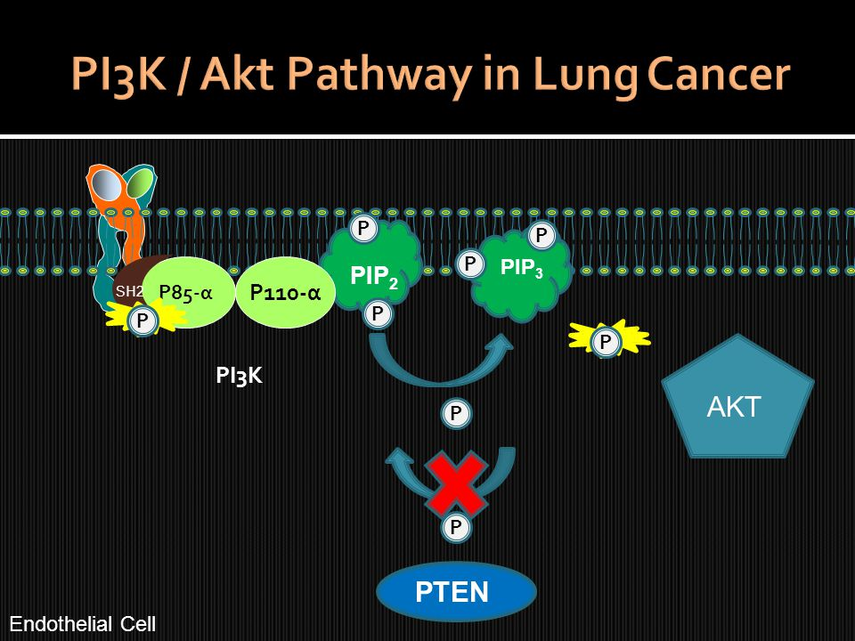 P85-α PIP 2 P P PTEN P PIP 3 P P P P110-α PI3K AKT SH2 P P Endothelial Cell