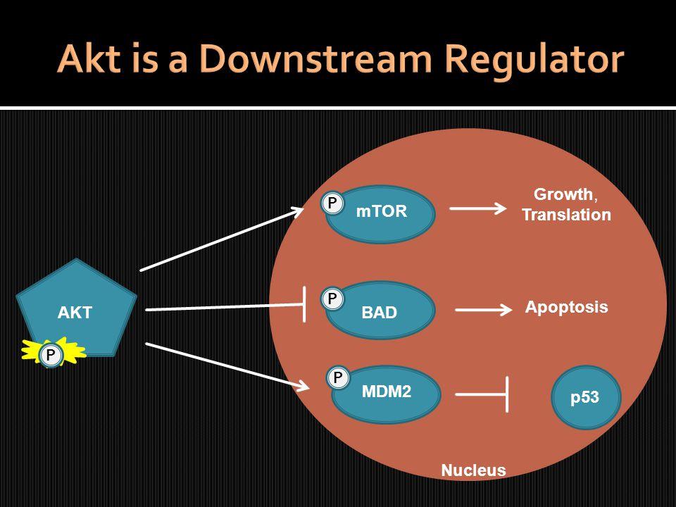 AKT P P P BAD MDM2 mTOR Growth, Translation Apoptosis p53 P Nucleus