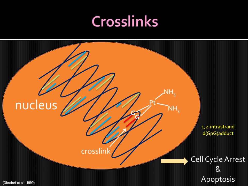 crosslink nucleus Pt NH 3 Cell Cycle Arrest & Apoptosis G G 1,2-intrastrand d(GpG)adduct (Ohndorf et al., 1999)