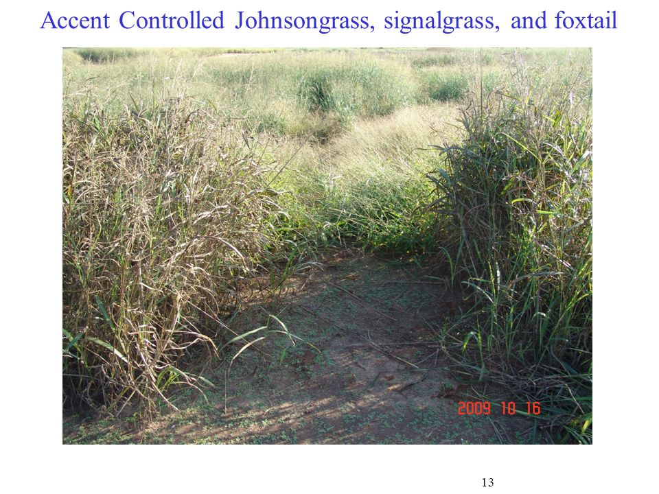 Accent Controlled Johnsongrass, signalgrass, and foxtail 13