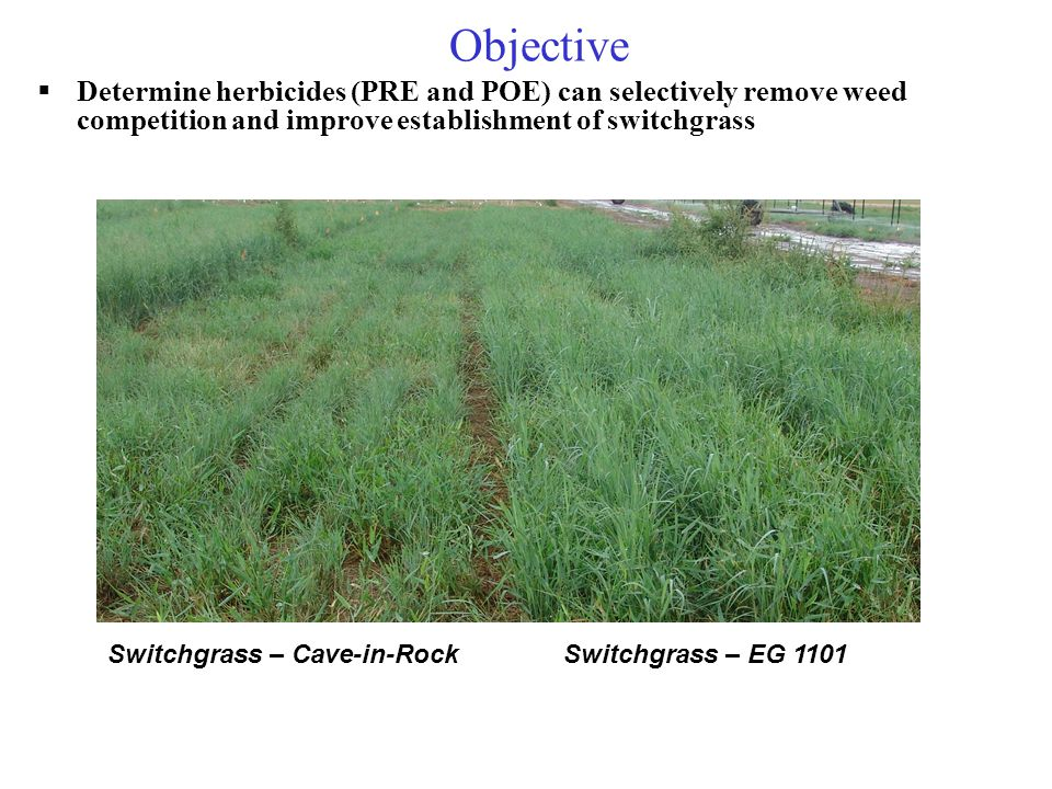 Objective  Determine herbicides (PRE and POE) can selectively remove weed competition and improve establishment of switchgrass Switchgrass – Cave-in-Rock Switchgrass – EG 1101
