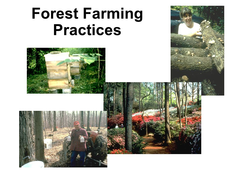 Familiar examples of forest farming practices include Bees and trees – apiculture Woods grown mushrooms Maple syrup production Shade gardens