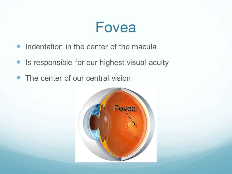 Fovea Indentation in the center of the macula Is responsible for our highest visual acuity The center of our central vision