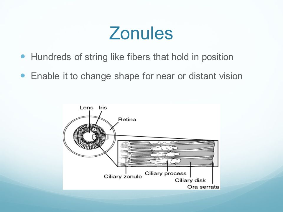 Zonules Hundreds of string like fibers that hold in position Enable it to change shape for near or distant vision