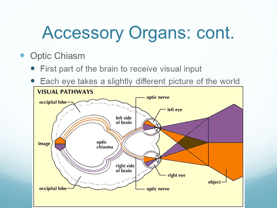 Accessory Organs: cont. Optic Chiasm First part of the brain to receive visual input Each eye takes a slightly different picture of the world