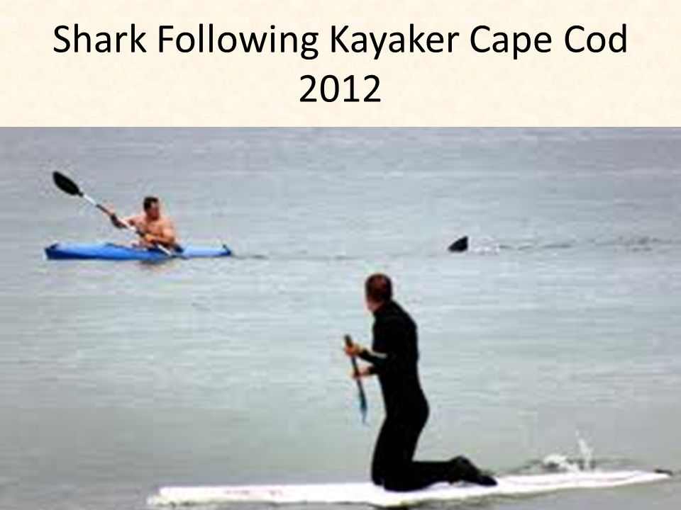 Shark Following Kayaker Cape Cod 2012