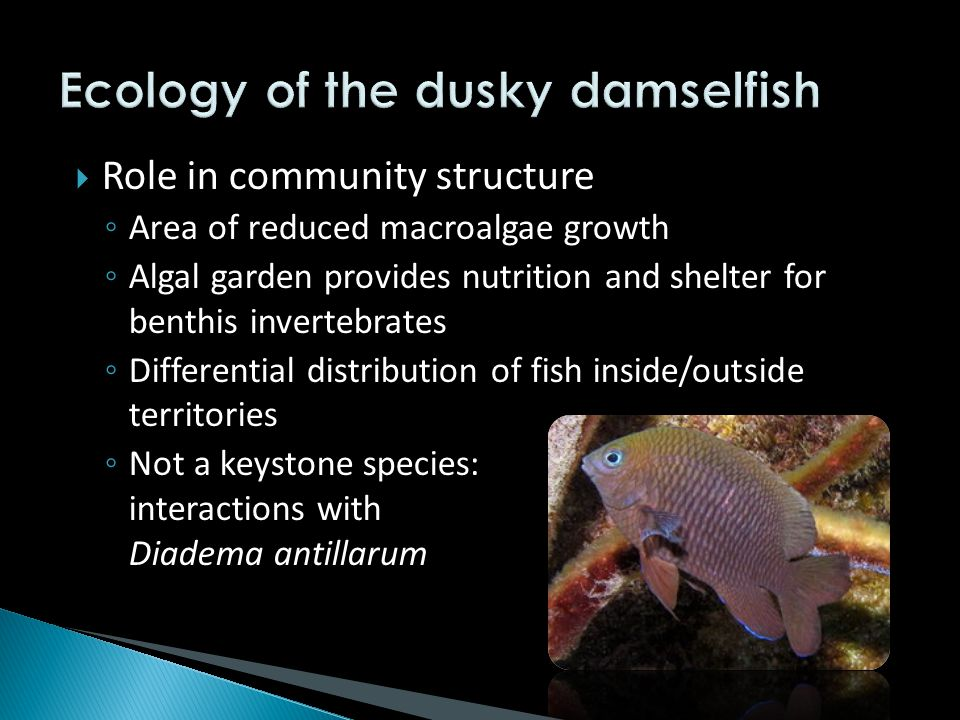  Role in community structure ◦ Area of reduced macroalgae growth ◦ Algal garden provides nutrition and shelter for benthis invertebrates ◦ Differential distribution of fish inside/outside territories ◦ Not a keystone species: interactions with Diadema antillarum