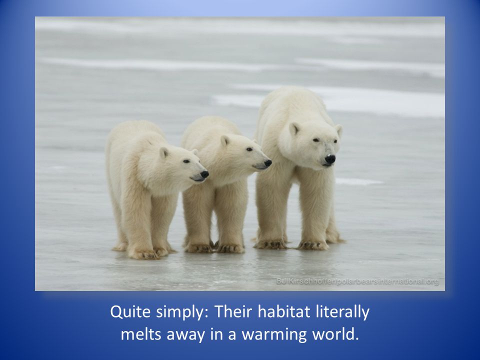 Quite simply: Their habitat literally melts away in a warming world.