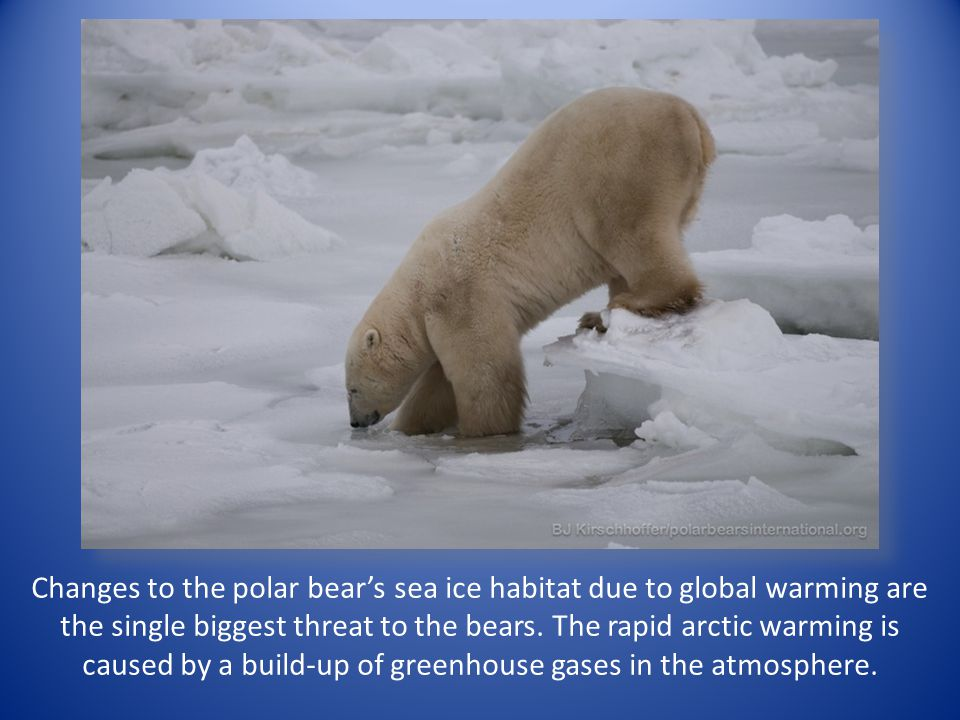Changes to the polar bear's sea ice habitat due to global warming are the single biggest threat to the bears. The rapid arctic warming is caused by a