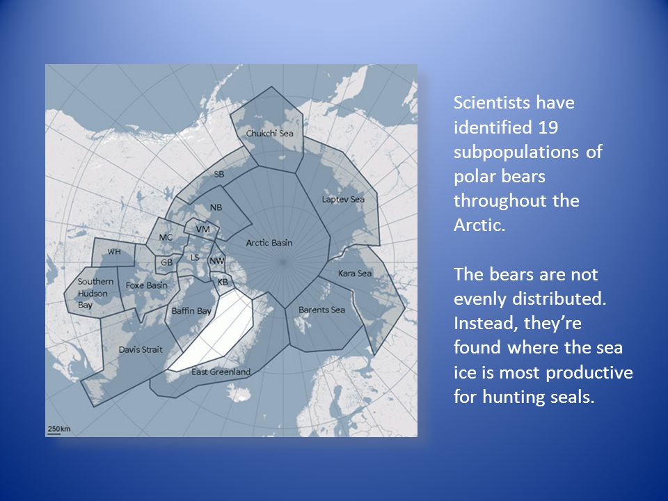 Scientists have identified 19 subpopulations of polar bears throughout the Arctic. The bears are not evenly distributed. Instead, they're found where