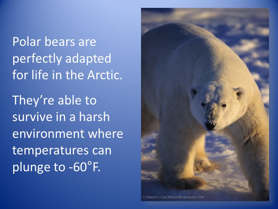 Polar bears are perfectly adapted for life in the Arctic. They're able to survive in a harsh environment where temperatures can plunge to -60°F.