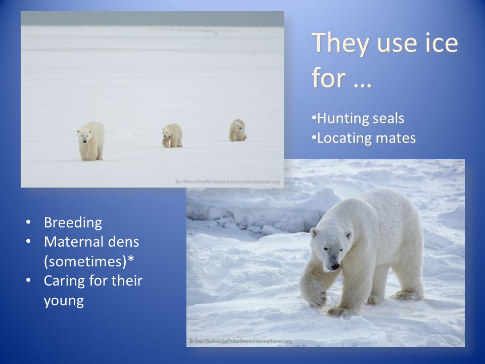 They use ice for … Hunting seals Locating mates They use ice for … Hunting seals Locating mates Breeding Maternal dens (sometimes)* Caring for their y