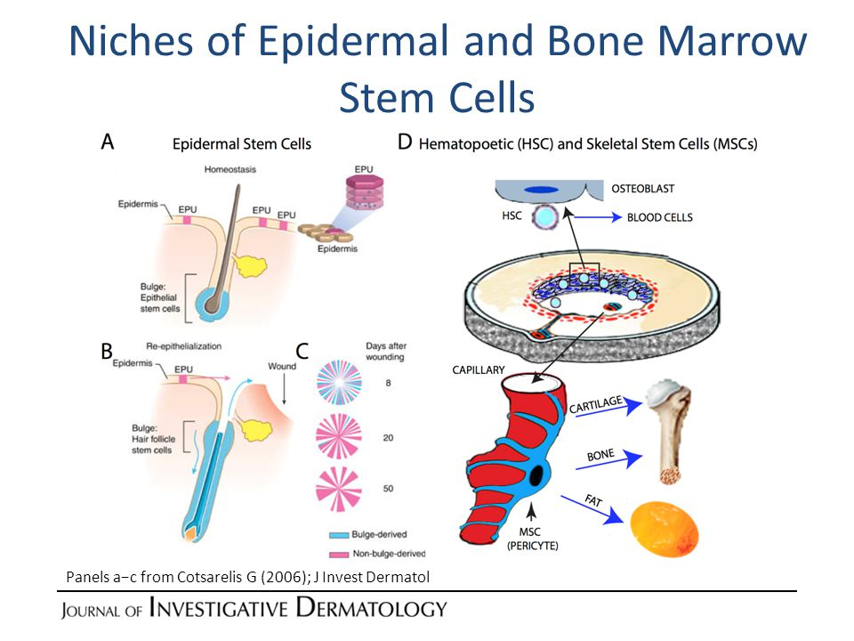 Niches of Epidermal and Bone Marrow Stem Cells Panels a−c from Cotsarelis G (2006); J Invest Dermatol
