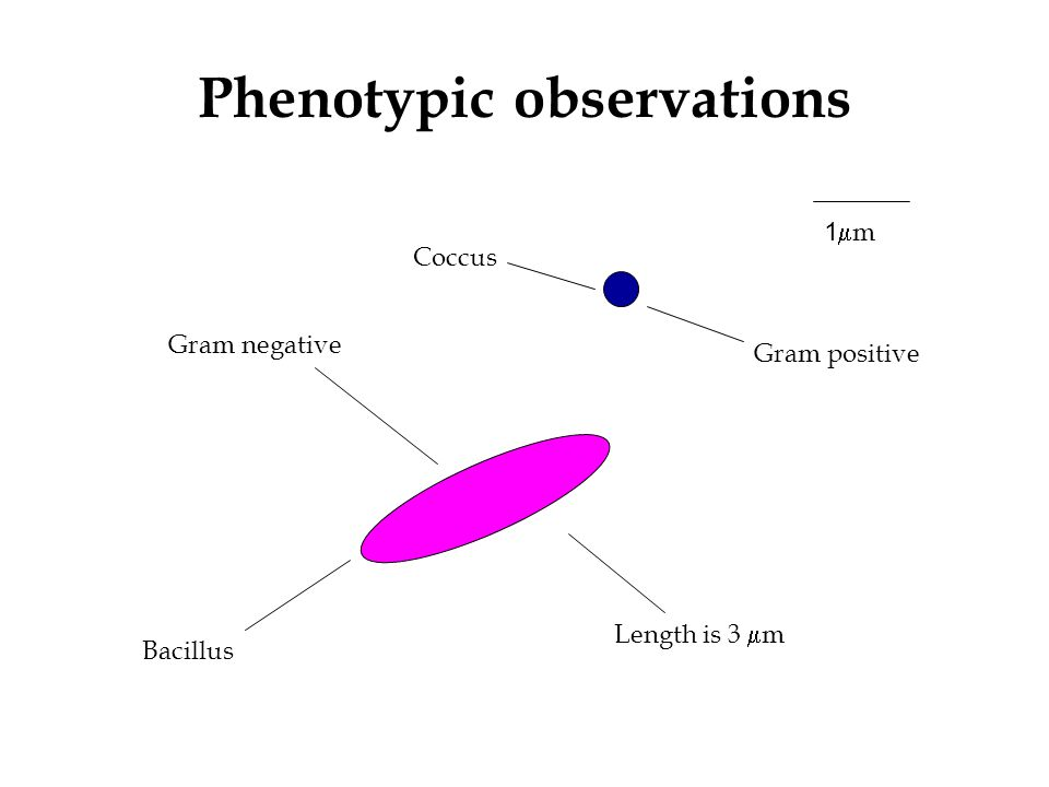 Phenotypic observations Bacillus Length is 3  m Gram negative 1mm1mm Gram positive Coccus