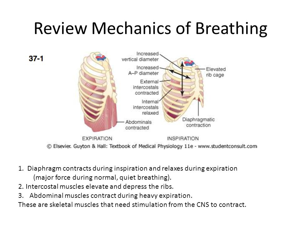 Respiratory Centers of the CNS The primary portions of the brainstem that control ventilation are the medulla oblongata and the pons.