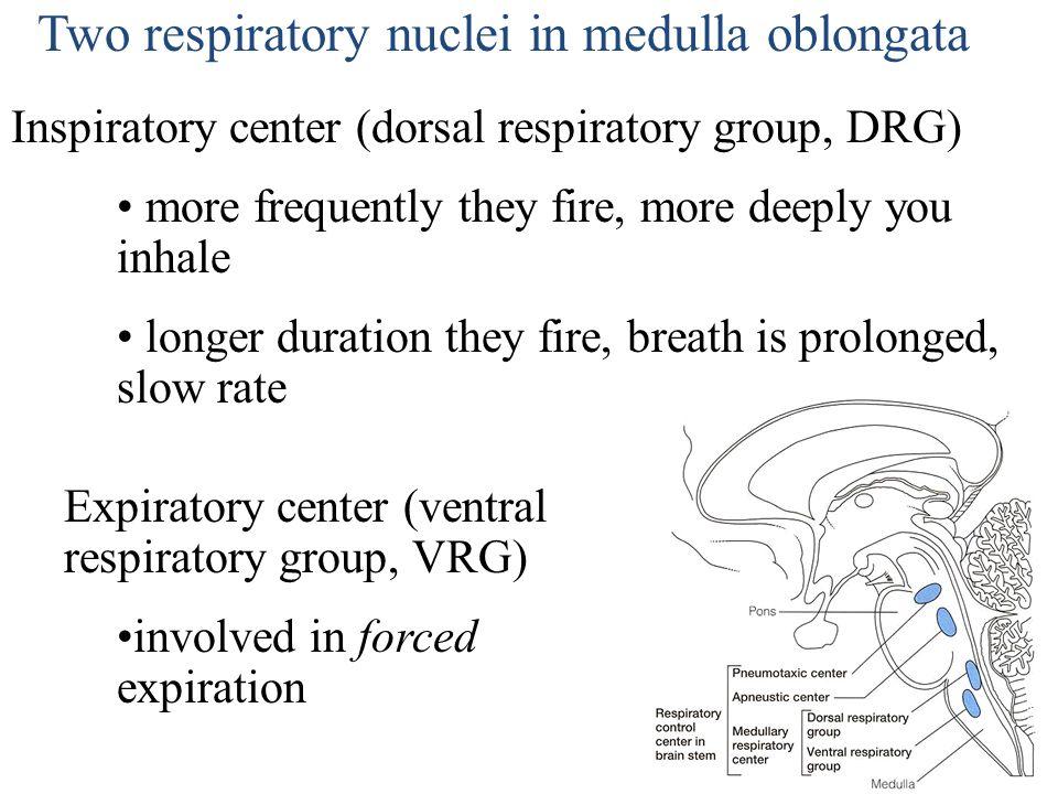 Dorsal Respiratory Group Sets the basic respiratory rate.