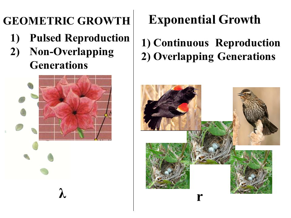 1)Pulsed Reproduction 2)Non-Overlapping Generations 1) Continuous Reproduction 2) Overlapping Generations GEOMETRIC GROWTH Exponential Growth λ r