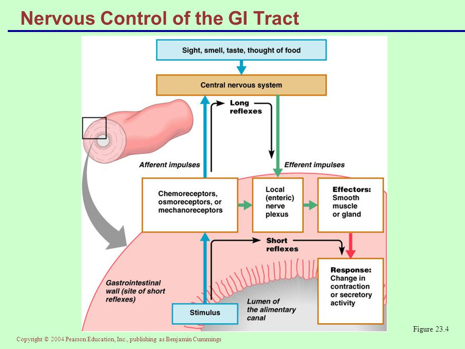 Copyright © 2004 Pearson Education, Inc., publishing as Benjamin Cummings Nervous Control of the GI Tract Figure 23.4