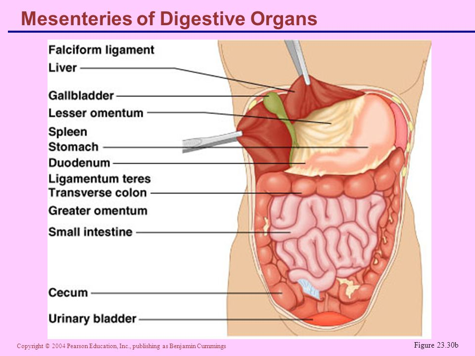Copyright © 2004 Pearson Education, Inc., publishing as Benjamin Cummings Mesenteries of Digestive Organs Figure 23.30b