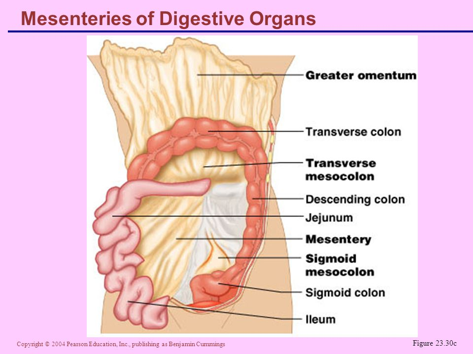 Copyright © 2004 Pearson Education, Inc., publishing as Benjamin Cummings Mesenteries of Digestive Organs Figure 23.30c